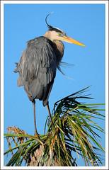 Great Blue Heron (thedaner) Tags: blue sky tree bird heron wings nikon legs wind florida great feathers aves palm ardea palmtree wetlands greatblueheron windblown herodias ardeidae viera ardeaherodias gbh vierawetlands d7000