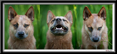 flash-triptychw (zingpix) Tags: red usa dog dogs jeff washington cattle  australian queensland australiancattledog heeler acd redheeler blueheeler whatcom herding allrightsreserved zingpix jaquish