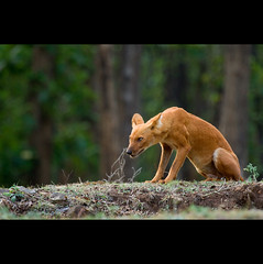 The look of Dhole (Asiatic Wild Dog)