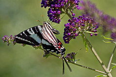 zebra swallowtail (loco's photos) Tags: blue red white black green butterfly bug insect purple pentax zebra kr swallowtail butterflybush dal55300