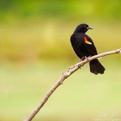 ~C U R I O U S~ (Adettara Photography) Tags: black green bird nature photography silent wildlife peaceful va blackbird avian redwing adettara canon7d canonef70200mmlisii