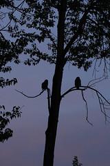 Owl Silhouette (K Fletcher) Tags: canada calgary bird raptor alberta owl greathornedowl