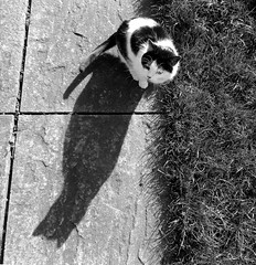 Shadow cat 4 (flatcap2009) Tags: blackandwhite catshadow