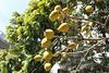 [EOS Kiss X3] 蛋黃果 Egg Fruit (Yu-ling C.) Tags: lunarnewyear pingtung eoskissx3