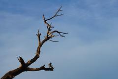 Recuerdo de una agona (SantiMB.Photos) Tags: sky espaa tree geotagged cielo rbol kdd tamron 18200 esp fujivelvia50 cataluna elpratdellobregat enfoca geo:lat=4130145076 geo:lon=212496400