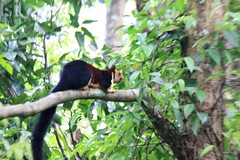 Malabar Giant Squirrel (Ceekayexpress) Tags: india animals squirrel threatened malabargiantsquirrel