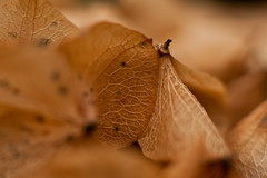 Macro Autumn Leaves (unluckypixie) Tags: autumn brown detail macro texture leaves closeup folliage veign