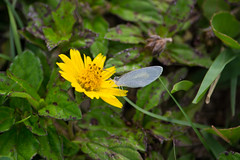 Cypress Park Coral Springs 2-160.jpg (larrysfl) Tags: unitedstates florida butterflies insects coralsprings barredyellow euremadaira