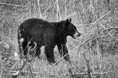 Grazing (dcumminsusa) Tags: bear park animals mammal national yellowstonenationalpark yellowstone wyoming blackbear ursusamericanus americanblackbear dcumminsusa dcummins canoneos7d20120524img7144