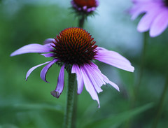 _1140552 (Old Lenses New Camera) Tags: flowers plants garden echinacea cine panasonic telephoto g1 coneflower f25 wollensak raptar 63mm 212inch
