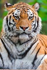 The beautiful Lucky (Tambako the Jaguar) Tags: park wild portrait male face cat germany big nikon tiger posing lying eschede d700 filmtierpark