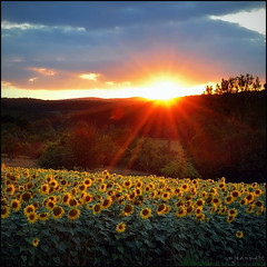 Derniers clats (Excalibur67) Tags: flowers sunset nature fleurs landscape soleil nikon lumire ciel alsace sunflower paysage tournesol girasol coucherdesoleil d90 vosgesdunord