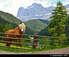 Haflinger und Rosengarten (H. Eisenreich Foto) Tags: horse mountains alps nova fence landscape prime photo ic foto fotografie south hans award unesco berge heike alpen zaun landschaft alto alpi pferd tyrol dolomites rosengarten 2012 reise sdtirol bozen gebirge adige haflinger dolomiten levante hff catinaccio dolimiti reisefotografie landschaftsfotografie schmidmhlen welschnofen eisenreich reisefoto mygearandme eijomian landschftsfoto