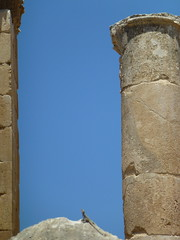 Lizard sunbathing on the temple of Zeus, Jaresh. (marc's pics&photos) Tags: old sun nature architecture geotagged ancienthistory ruins roman middleeast lizard jordan zeus sunbathing jaresh