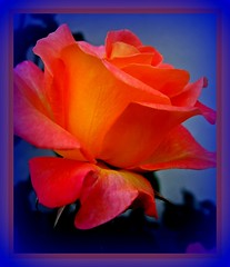 Imagination  -  Phantasie (FotoArtCircle) Tags: flower macro nature rose natur pflanzen dream blumen natura makro phantasie traum panker inagination bestofblinkwinners richardvonlenzano rememberthatmomentlevel1 roserotgelb
