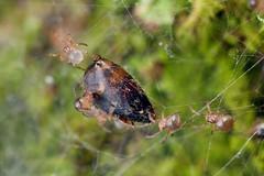 Theridiid care 2/2 (Techuser) Tags: food macro nature animal bug spider rainforest close web cobweb sharing reverse care parental piedade soligor 2835 spiderling