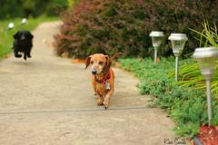 Begins with D (MichiganKim) Tags: dogs running dachshund odc weinerdog sammo ourdailychallenge beginswithd