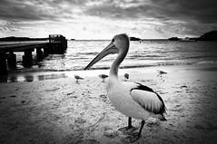 IMGP3645 Western Australia Rottnest  Pelican Black and White (Dave Curtis) Tags: white black birds island bay pentax australia places pelican westernaustralia geordie kx