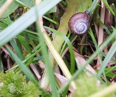 Baby snail. (margaret.pilkington47) Tags: hiding undergrowth babysnail