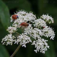 Looks like summer.. (Ollie_57) Tags: summer england plant flower macro nature fauna canon flora dof bokeh july insects devon 7d bloom ladybird wildflower 2012 teignmouth soldierbeetle tamronsp90mm haldonhills ollie57 sqcrop