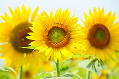 sunflower (peaceful-jp-scenery) Tags: sony sunflower  tamron     a001  dslra900 spaf70200mmf28di