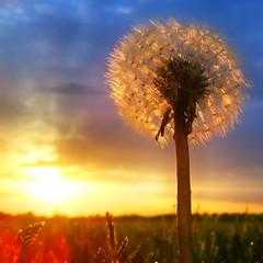 Pusteblume (M a r i k o) Tags: sunset square dandelion squareformat iphone lwenzahn pusteblume iphone4 iphoneography