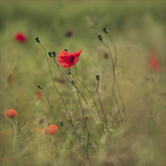 opiate dreams (Black Cat Photos) Tags: uk flowers light red wild england macro nature canon blackcat photography prime photo europe soft dof yorkshire dream reserve m dreams poppy poppies dreamy hazy wildflower diffused opiate bughunt brockerdale blackcatphotos brockerdalenaturereserve opiatedreams