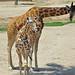 Giraffe Mom and Baby Reticulated aka Somali (Giraffa camelopardalis reticulata)
