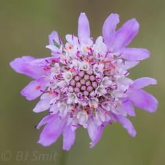 * (BJSmit) Tags: flower fleur spain 7d catalua bloem stperepescador canon7d
