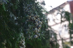 Pine Berries (pilot.henry) Tags: plants tree green nature pine berries fir