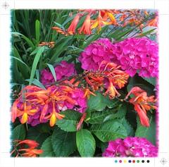 Summer (Caroline Oades) Tags: clash colour pinkandorange orange pink garden planting chichester hydrangea montbretia summer
