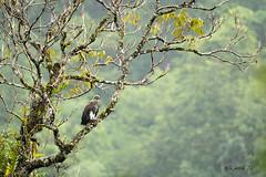 Shades of Grey! (AkDExplorer) Tags: icthyophaga humilis raptor fisheagle eagle westernghats india valparai taminadu wildlife birdphotography wild