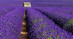 Au Pays de la Lavande...... (Malain17) Tags: flickrbronzetrophygroup perspective colors lavender cabanon sillons photography photographers pentax landscape image capture provence france vagues flickr