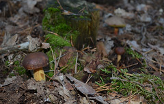 Boletus (Bjrn O) Tags: pilz pilze speisepilz mushroom mushrooms wald wood herbst autumn boletus makro macro closeup close