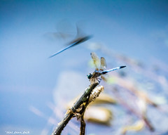 Dragonfly Dreams (that_damn_duck) Tags: animal insect dragonflies nature dragonfly