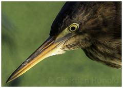 green heron (Christian Hunold) Tags: greenheron heron bird grnreiher bokeh johnheinznwr philadelphia christianhunold