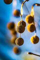 Seed Pods (shashin62) Tags: australia nsw dorrigo nature tree pods seedpods