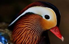 maruyama 131 (kaifudo) Tags: sapporo hokkaido japan maruyamapark mandarinduck 札幌 北海道 円山 円山公園 オシドリ nikon d7100 sigmaapomacro150mmf28 sigma 150mm macro bird nature kaifudo duck