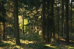 Sonnenstrahlen (izoll) Tags: izoll sony alpha77ii wald waldaufnahmen natur sonnenstrahlen lichtundschatten lichtstrahl naturaufnahmen bume
