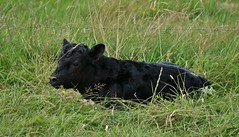 a wee calvie................. (Suzie Noble) Tags: calf calving calves aberdeenangus cattle aberdeenangusx strathglass struy field farm farming farmanimals grass