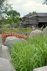 Prise en flag la girafe ! (Johanna Viala) Tags: girafe pzp parczoologiquedeparis zoodevincennes animaux