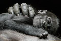 Gorillababy (gosammy1971) Tags: gorilla flachlandgorilla trockennasenaffen menschenaffen ape sugetier flickr new august 2016 zoo duisburg mapema schwarz weiss sleeping altweltaffen animals natur nature