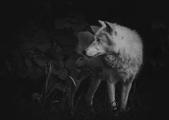 Pukak (ToriAndrewsPhotography) Tags: arctic wolf uk conservation trust beenham photography andrews tori