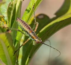 Mexican Bush Katydid (Susan Colosimo) Tags: mexicanbushkatydid scudderiamexican katydid longhornedorthoptera cricket bushkatydid insect