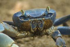 The blue friend (Nugohs1) Tags: crab crabe costarica carabes sand sable cahuita fidler violoniste portrait