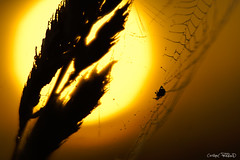 Encore un matin. (christophe.perraud.44310) Tags: levdesoleil contrejour araigne nature wildlife