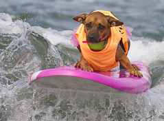 IMG_6629 (San Diego Shooter) Tags: dog dogs portrait sandiego imperialbeach surfer surfing dogsurfing