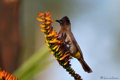 Early Bird (leendert3) Tags: blackeyedbulbul ngc coth5 npc