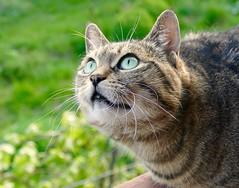 BIRDS!! (evakatharina12) Tags: cat tabby kitty chat katze face eyes green pet animal mammal whiskers outdoor panasonic fz1000 cc100 cc1000