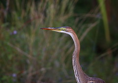 starc purpuriu 01 (Valentin Groza) Tags: birds birdwatching dobrogea romania outdoor wildlifephotography heron prey snake hunting ardea purpurea purple starc rosu sarpe